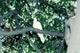 White Dove of Peace, evergreen tree, ABDV01P05_16