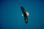 Bald Eagle, Homer, Alaska, ABFV01P03_15.3339