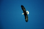 Bald Eagle, Homer, Alaska, ABFV01P03_15