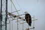 Bald Eagle, Homer Alaska, ABFV01P06_03.3339