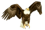 Bald Eagle, photo-object, object, cut-out, cutout, ABFV01P10_03F