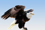 Bald Eagle, feathers, ABFV01P10_05B