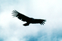 Andean Condor, flight, flying, Andes, ABFV02P01_07