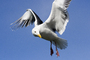 Seagull, Wings, Flight, Feathers