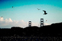 seagulls, Golden Gate Bridge, ABGV01P03_10.3340