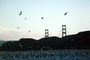 seagulls, Golden Gate Bridge, ABGV01P03_13