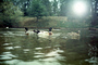 Sun, Water, Goose, Pond, Lake, ripples, UC Davis, California, Wavelets