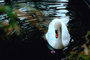 Swan, pond, lake, ripples, Wavelets