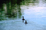 Ducks on a pond, lake, wake, ripples, Wavelets, ABWV01P03_01.3344