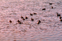 ducks, lake, ripples, Wavelets, ABWV01P03_19.3344