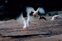 Goose, landing, flight, wings, Santa Barbara California, ABWV01P06_09.3344