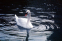 Swan on water, ripples, concentric rings, wave propagation, waves, Wavelets, ABWV03P07_17