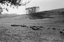 Sheep, Sonoma County, ACFPCD0661_040