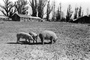 Pigs, sow, swine, barn, Cotati, Sonoma County