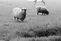 Sheep, Cotati, Sonoma County