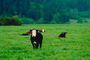 Beef Cows, north of Eureka, Humboldt County