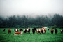 Barn, Cows, Fog, Hills, Trees, north of Eureka, Humboldt County, Beef Cows, ACFV01P02_05