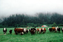 Barn, Cows, Fog, Hills, Trees, north of Eureka, Humboldt County, Beef Cows, ACFV01P02_07
