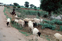 Goats, Boy, Herder, Dirt Road, unpaved, ACFV01P02_13