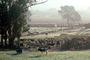 Early Morning Mist, Cows, ranch, Pleasanton
