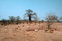 curly, twisted tree, Goats, Baobab Tree, Dirt, soil, twisted, Adansonia