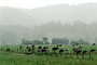 Dairy Cows, Fernwood, Humboldt County, ACFV01P11_08