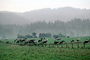 Dairy Cows, Grass, Grazing, fields, barn, building, Fernwood, Humboldt County, ACFV01P11_10