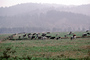Dairy Cows, Grass, Grazing, fields, Fernwood, Humboldt County, ACFV01P11_11