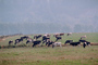 Dairy Cows, Grass, Grazing, fields, Fernwood, Humboldt County, ACFV01P11_12.2459