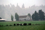 Dairy Cows, Grass, Grazing, home, house, barn, fence, trees, fields, Fernwood, Humboldt County, ACFV01P11_13