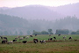 Barn, Hills, Dairy Cows, Grass, Grazing, trees, fields, Fernwood, Humboldt County, ACFV01P11_14.2459