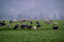 Dairy Cows, Fernwood, Humboldt County, ACFV01P11_15.2459