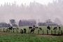 Barn, Hills, Dairy Cows, Grass, Grazing, trees, fields, Fernwood, Humboldt County, ACFV01P11_17