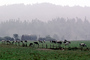 Barn, Hills, Dairy Cows, Grass, Grazing, trees, fields, Fernwood, Humboldt County, ACFV01P12_02