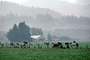Dairy Cows, Fernwood, Humboldt County, ACFV01P12_03