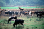 Dairy Cows, Fernwood, Humboldt County, ACFV01P12_08