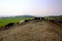 Dairy Cows, Fernwood, Humboldt County, ACFV01P12_09.4098