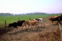 Dairy Cows, Fernwood, Humboldt County, ACFV01P12_10.4098