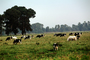 Dairy Cows, Fernwood, Humboldt County, ACFV01P12_14
