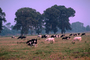 Dairy Cows, Fernwood, Humboldt County, ACFV01P12_18.2459