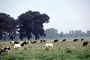 Dairy Cows, Fernwood, Humboldt County, ACFV01P12_19