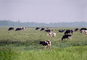 Dairy Cows, Fernwood, Humboldt County, ACFV01P13_01