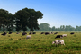 Dairy Cows, Fernwood, Humboldt County, ACFV01P13_02.2459