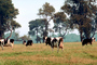 Dairy Cows, Fernwood, Humboldt County, ACFV01P13_06.4098