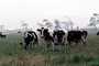 Dairy Cows, Fernwood, Humboldt County, ACFV01P13_10