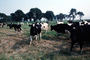 Dairy Cows, Fernwood, Humboldt County, ACFV01P13_14
