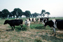 Dairy Cows, Fernwood, Humboldt County, ACFV01P13_16