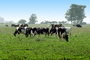 Dairy Cows, Fernwood, Humboldt County, ACFV01P13_19.2459