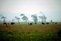 Dairy Cows, Fernwood, Humboldt County, ACFV01P14_01.4098