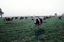 Dairy Cows, Fernwood, Humboldt County, ACFV01P14_03